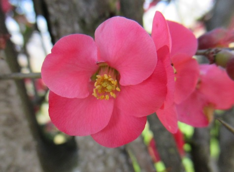 japanese-peach-flower