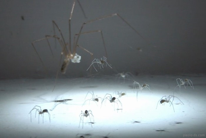 6-cellar-spider-eggs-and-babies-2